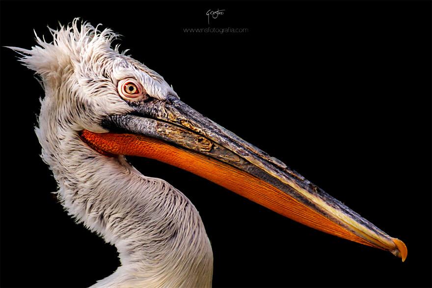 semana_20_foto-pelicano
