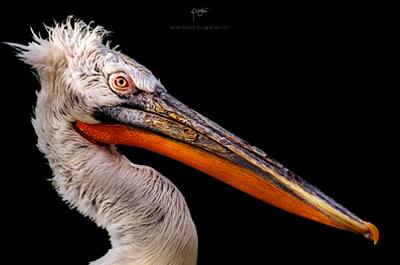 semana_20-img-dest_pelicano